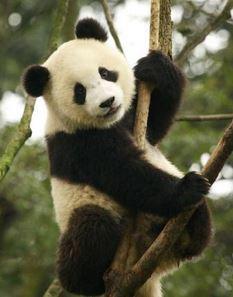 Großer Panda - nur noch 'vulnerable' - Foto © IUCN